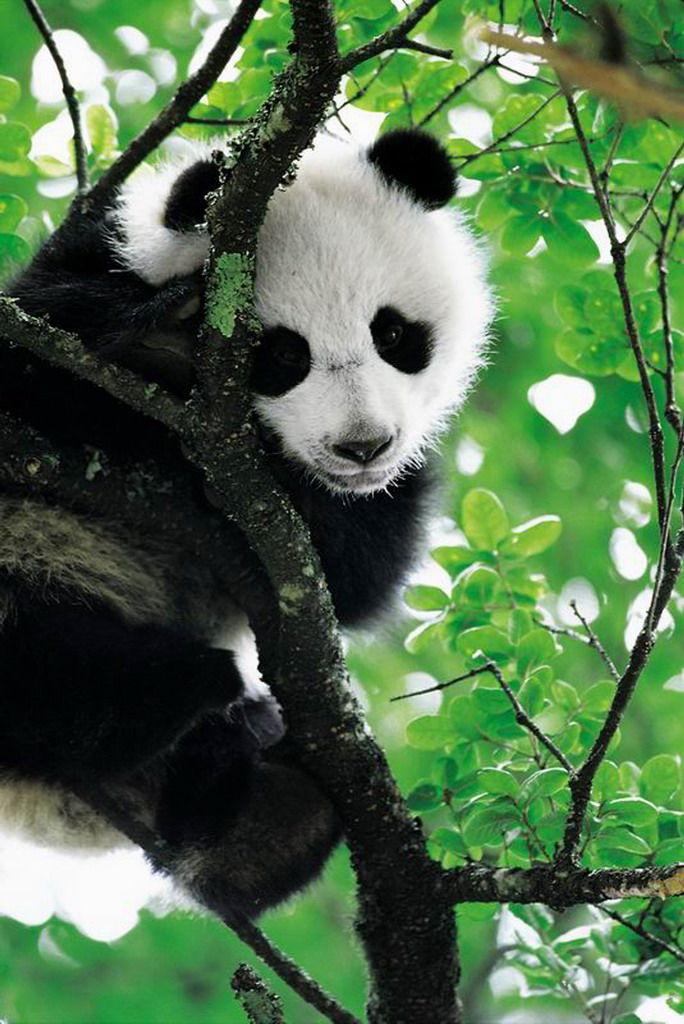 熊猫基地-四川蜀华国旅